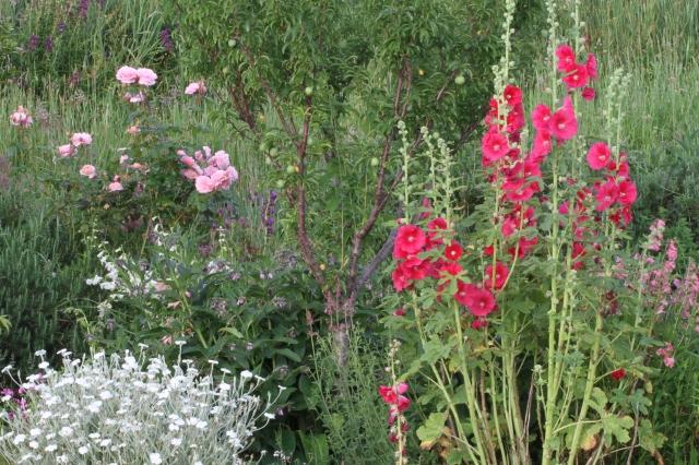 hollyhocks lychnis roses Under plum tree