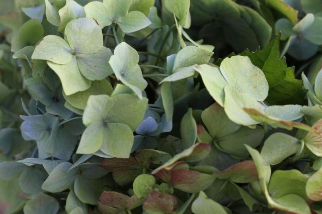 hydrangea petals faded