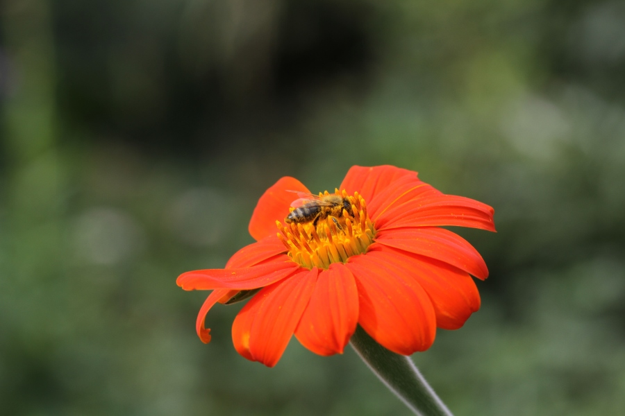 bee in mexican sunflower