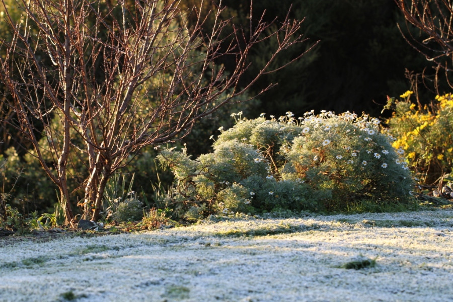 frost on agranthemum daisy bush