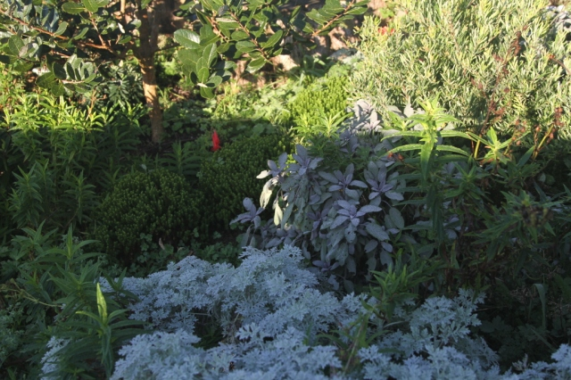 frost on groundcovers in the red and green garden