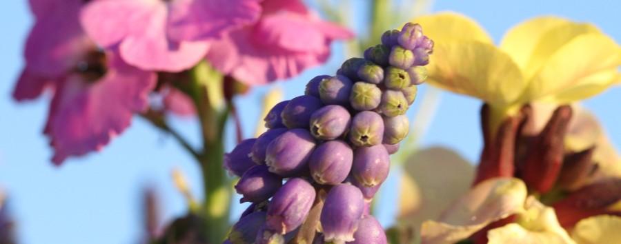 grape hyacinth 1400