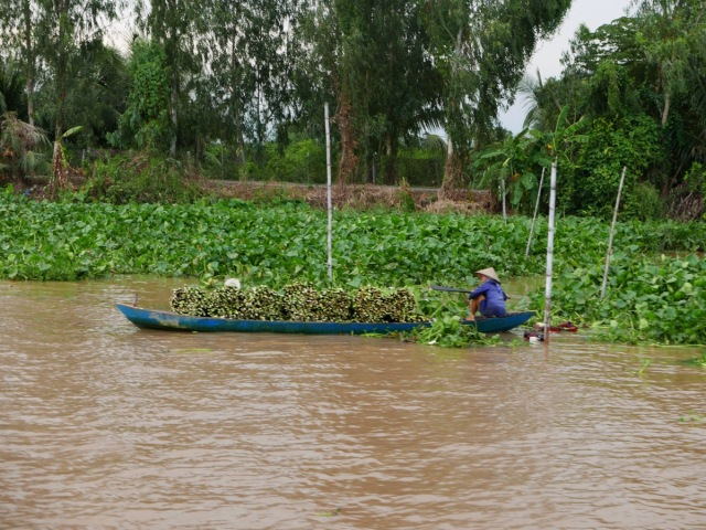 Harvesting water plants Mekong Delta