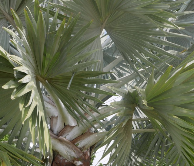 Silver palm leaves Vietnam