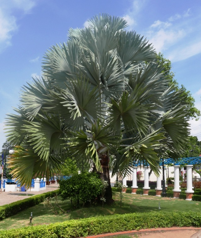 Palm Tree with Silvery leaves Vietnam