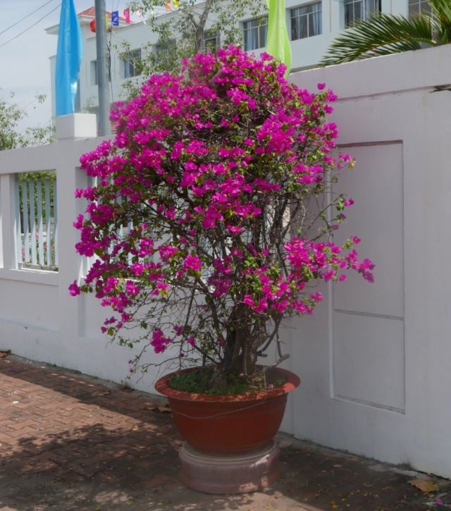 Bougainvillea in pot trained as tree