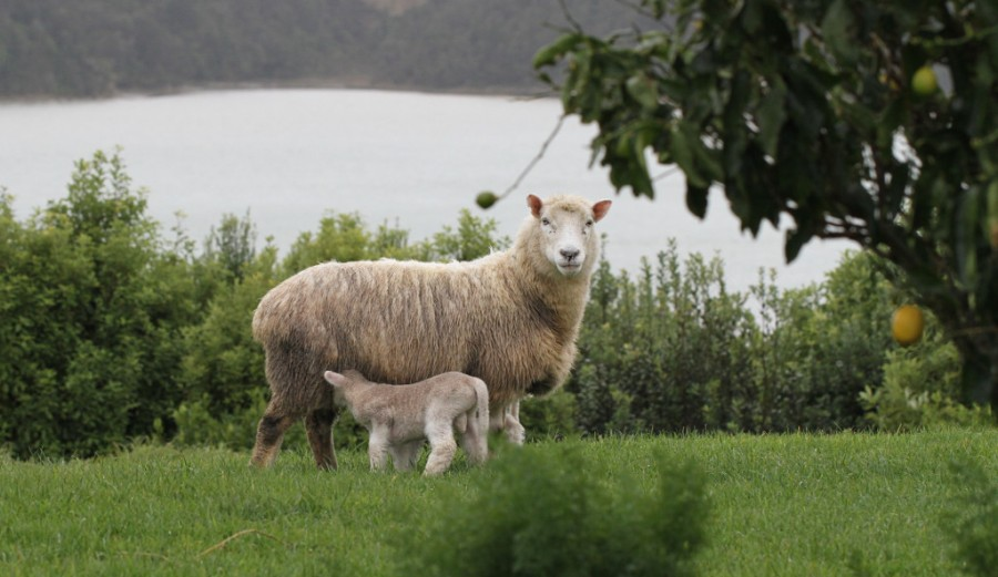 lambs and mom