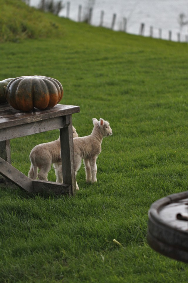 lambs and pumpkins
