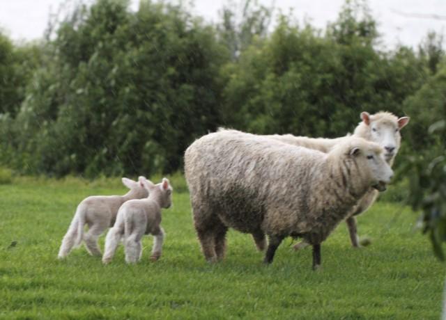 lambs leaving