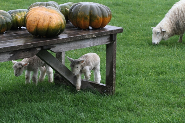 lambs under the table