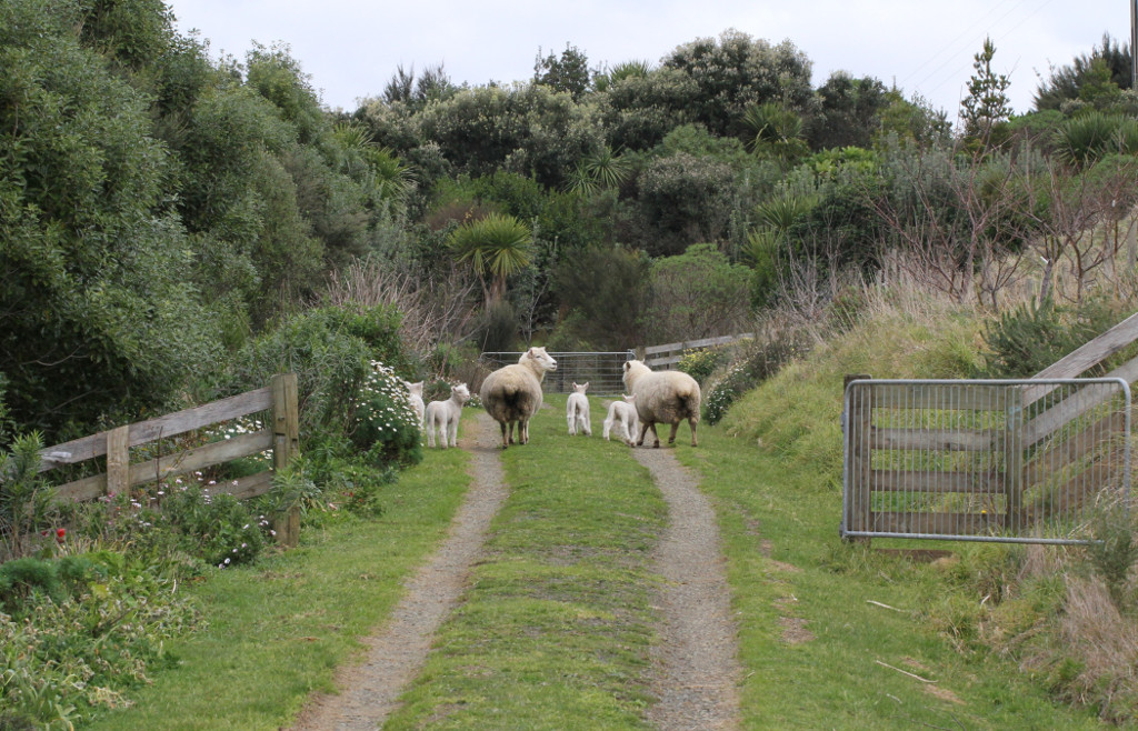 sheep leaving reluctantly