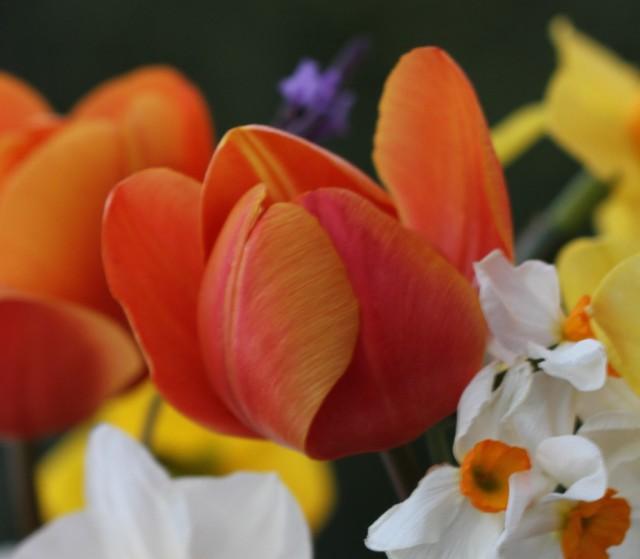 Asahi tulip