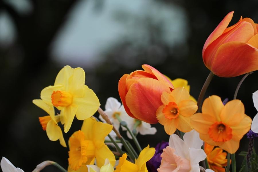 Asahi tulip cut flowers