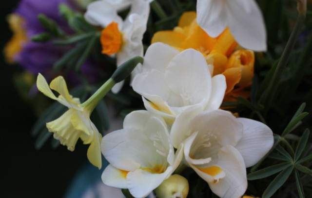Freesias and daffodils cut flowers