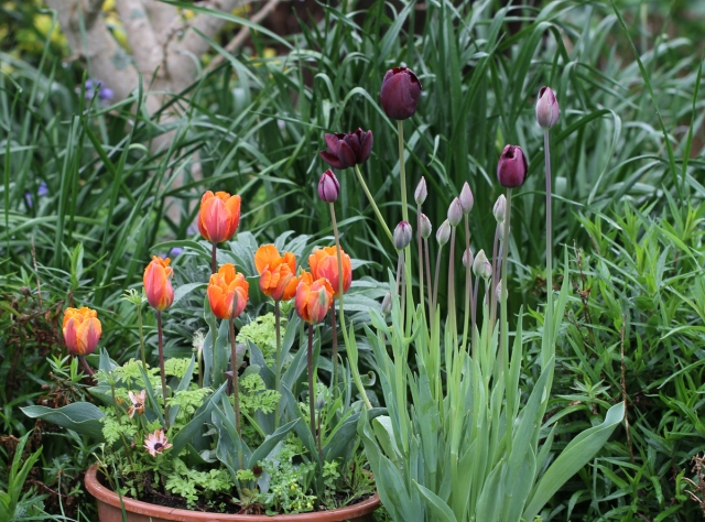 potted-tulips