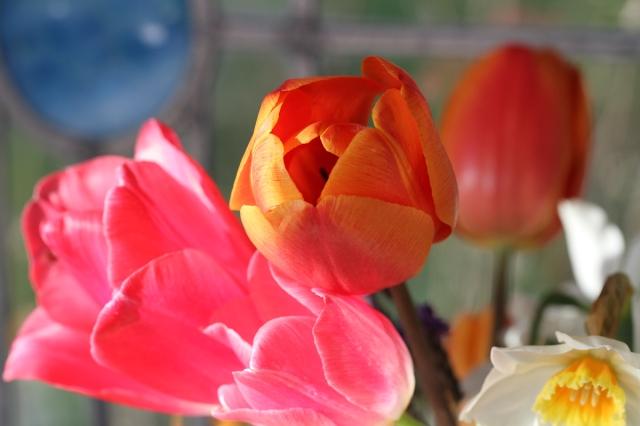 Tulips Asahi