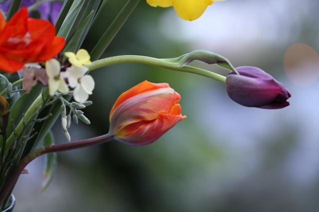 Princess Irene Tulip