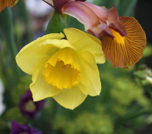 daffodil-and-iris