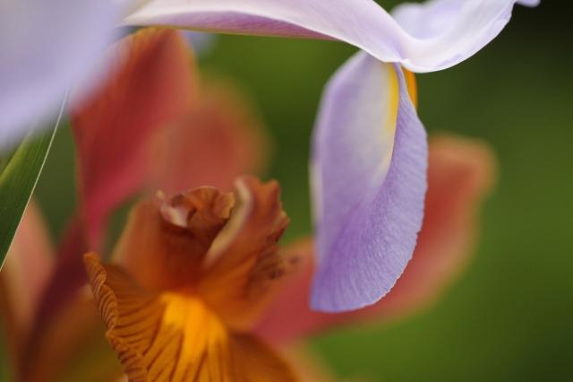 dutch-iris-autumn-princess-and-apollo