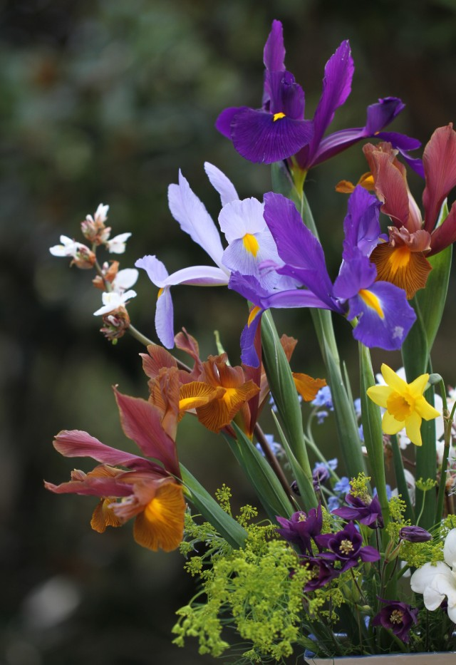 dutch-iris-autumn-princess-apollo