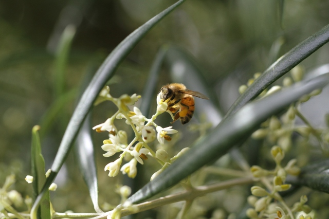 bee-in-olive-flowers-1400