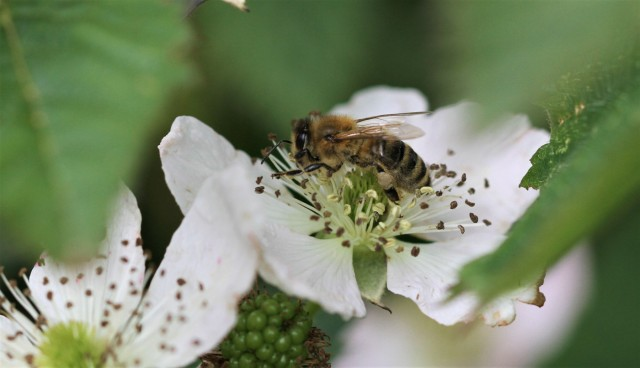 bee-on-blackberry-flower-1400