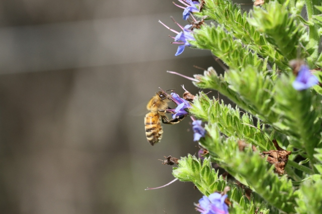 bee-on-echium-candicans-1400