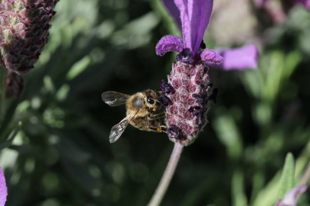 bee-on-lavender-stoechas-1400