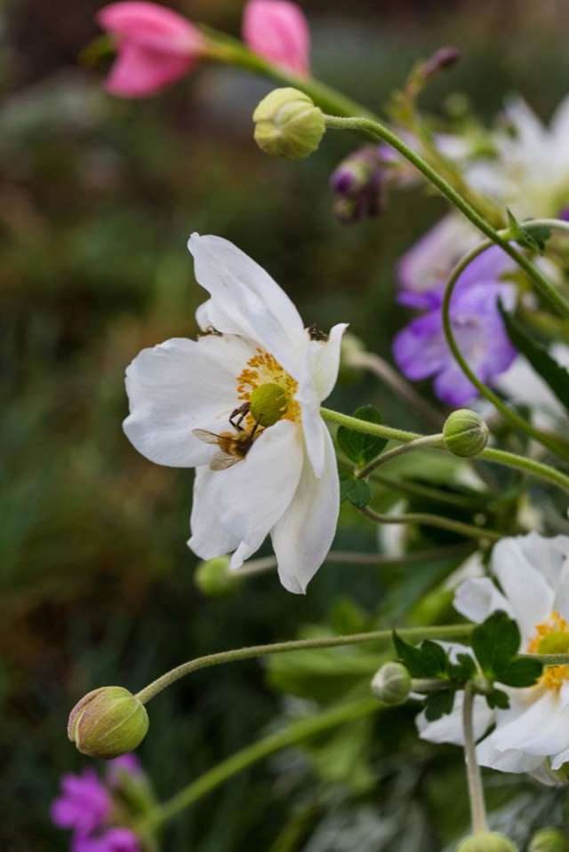 anemone flower with bee