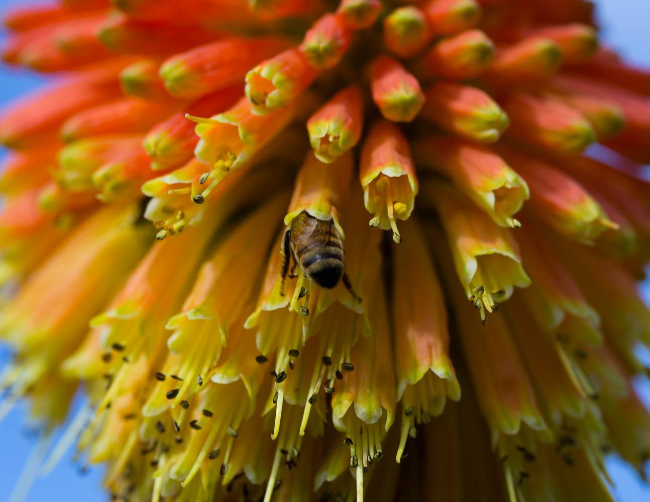 bee in kniphofia flower
