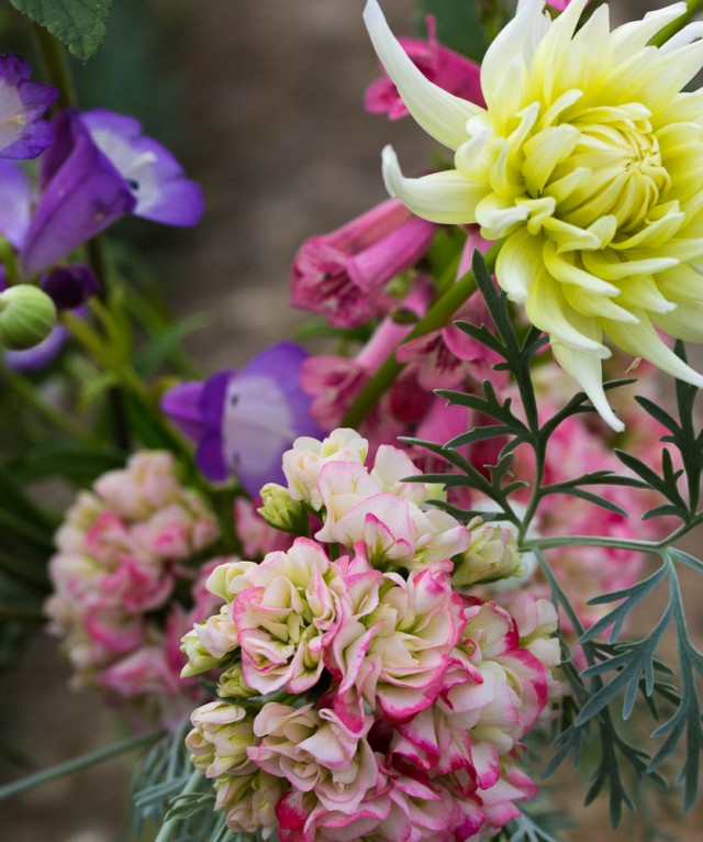 dahlia and pelargonium cut flowers