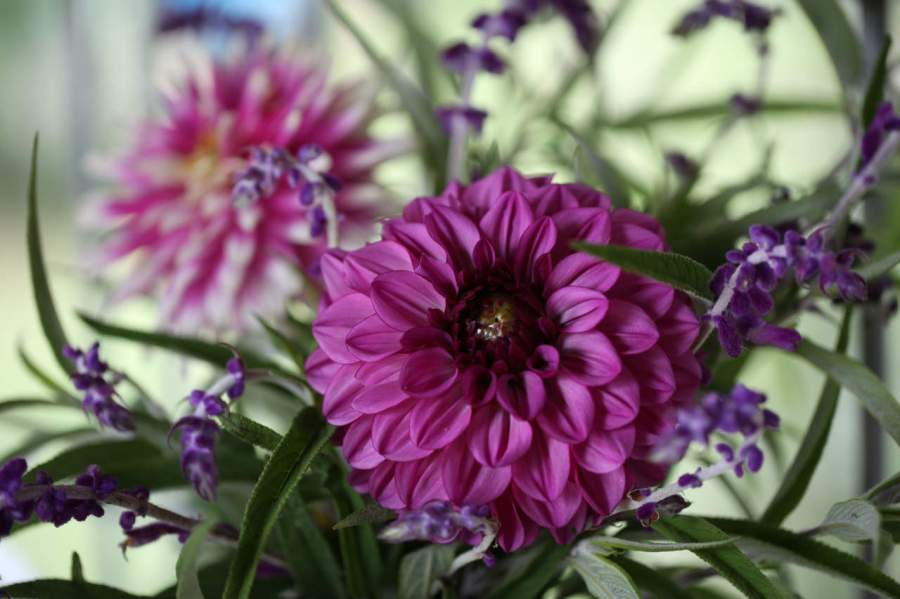 pink dahlias Profundo and Dark Horse cut flowers
