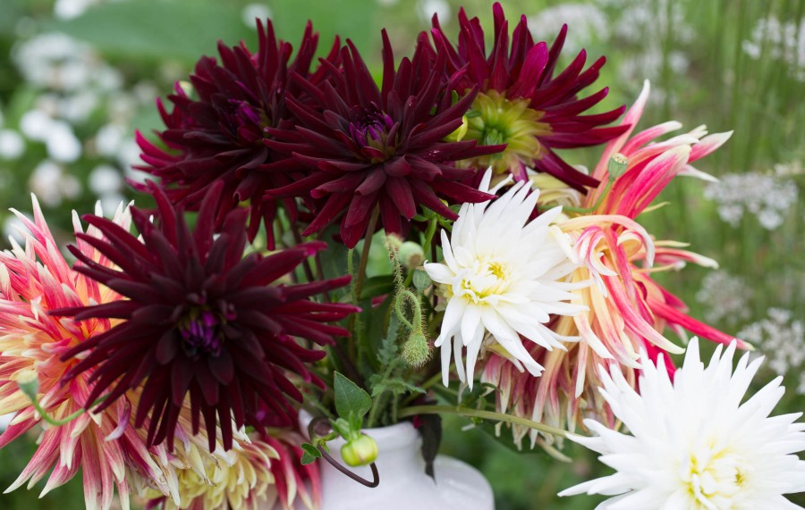 Dahlias Chat Noir and Akita cut flowers