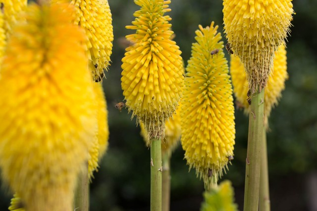 yellow kniphofia with bees