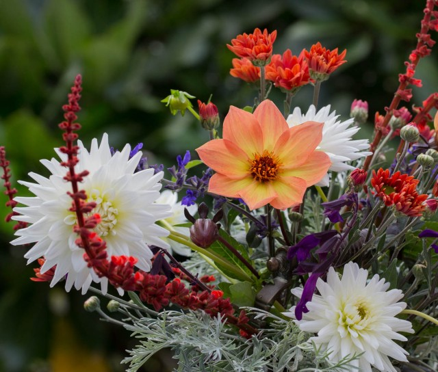 Single Dahlia and Chrysanthemums cut flowers