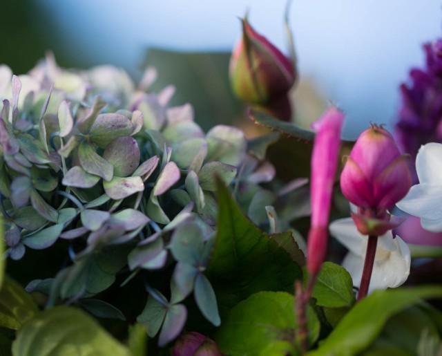 Hydrangea with Salvia