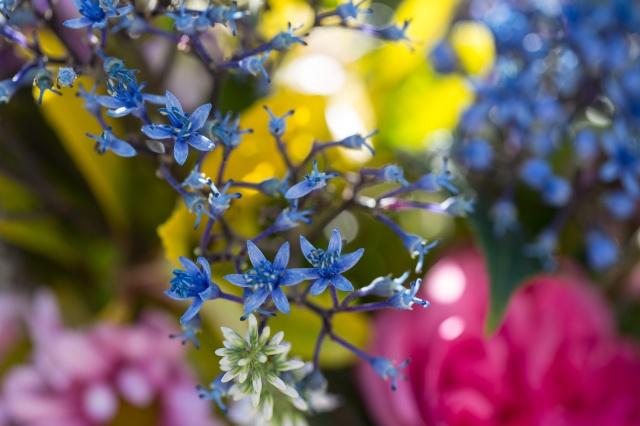 dichroa blue sapphire cut flower