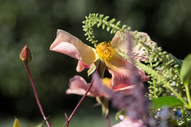 rosa mutabilis cut flower
