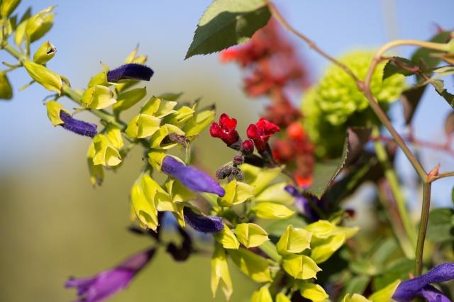 salvia flowers
