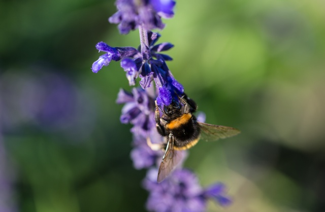 salvia indigo spires and bumble bee