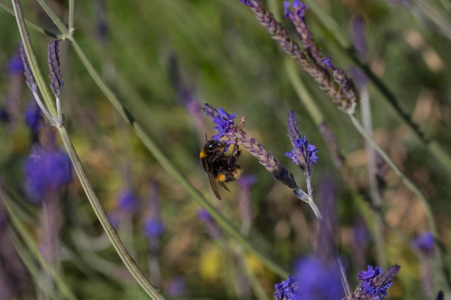 bumble bee on lavender sidonie