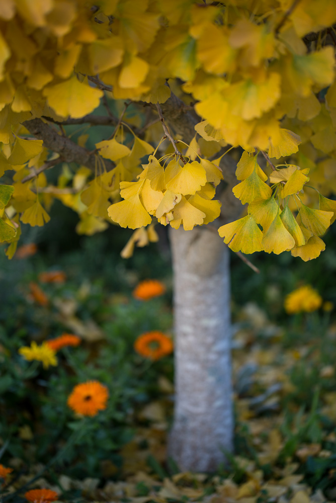 ginko tree with yellow leaves