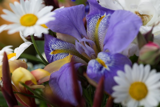 iris unguicularis and daisy