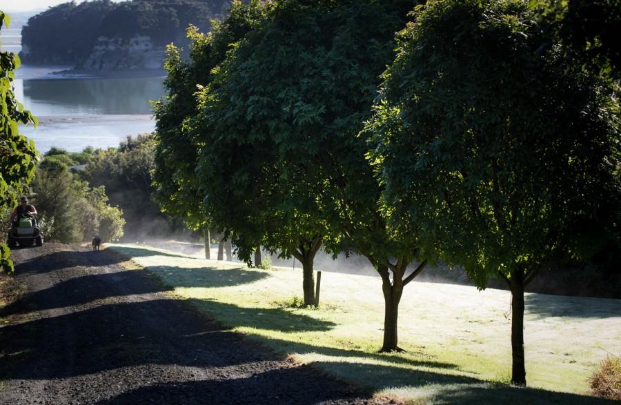 morning sun on titoki trees