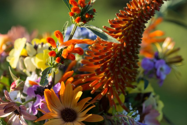 osteospermum terracotta with kniphofia and leonotis in vase