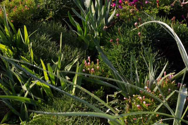 oxalis, freesias, iris, blue eyed grass