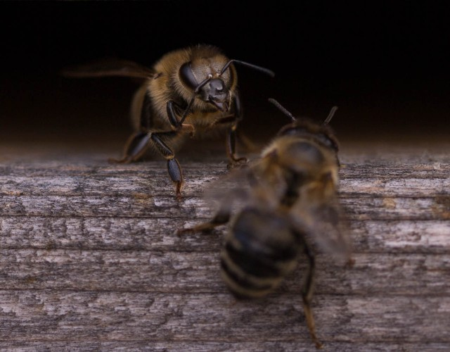 bee check at hive mouth (3)