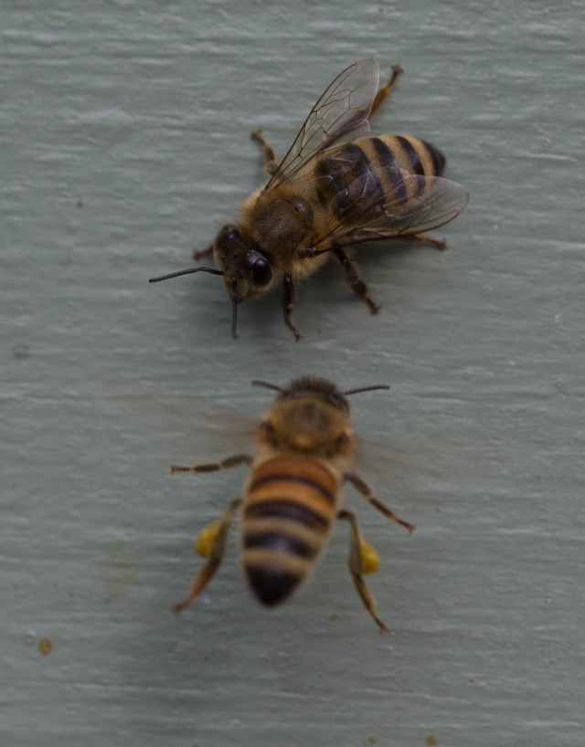 bee with pollen outside hive
