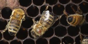 bee with varroa