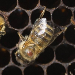 bee with varroa